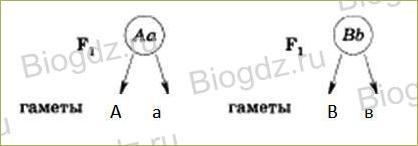 Урок 52. Закон чистоты гамет - 1