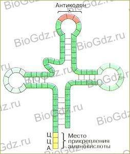 Тема 2.10. Реализация наследственной информации в клетке - 1