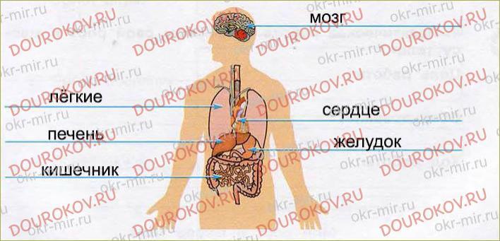 Организм человека - 40