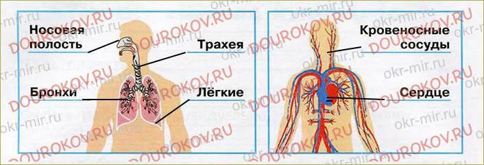Дыхание и кровообращение - 54