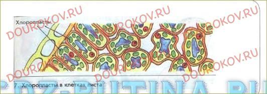 Особенности строения клеток. Пластиды - 1