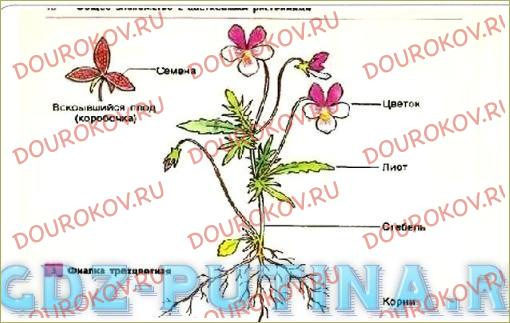Покрытосеменные растения - 3