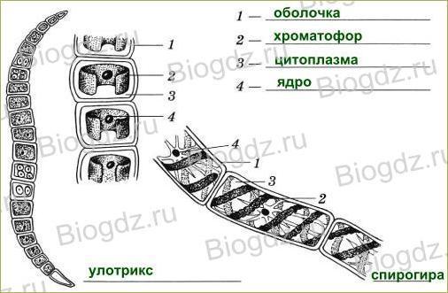 §18. Водоросли - 2