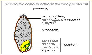 §5. Семя, его строение и значение - 1