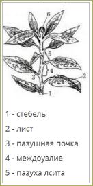 §8. Побег, его строение и развитие - 1