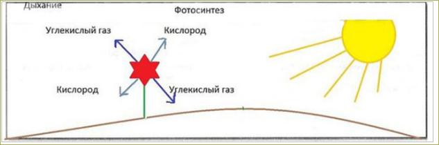 §15. Дыхание и обмен веществ у растений - 2