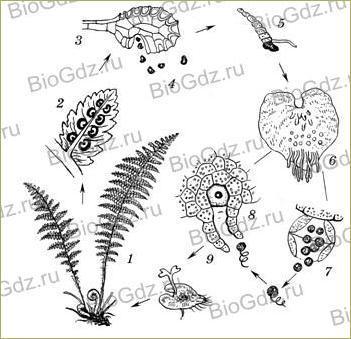 §22. Размножение споровых растений - 5