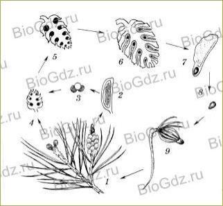 §23. Размножение голосеменных растений - 1