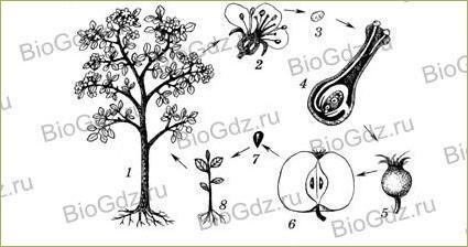 §24. Половое размножение покрытосеменных растений - 1