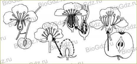 §24. Половое размножение покрытосеменных растений - 2