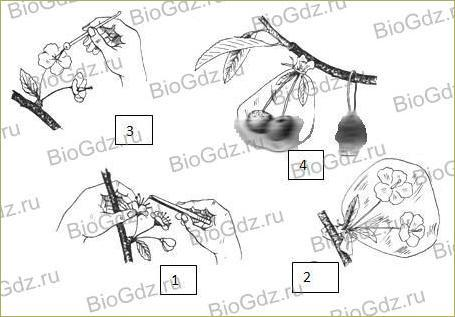 §24. Половое размножение покрытосеменных растений - 5