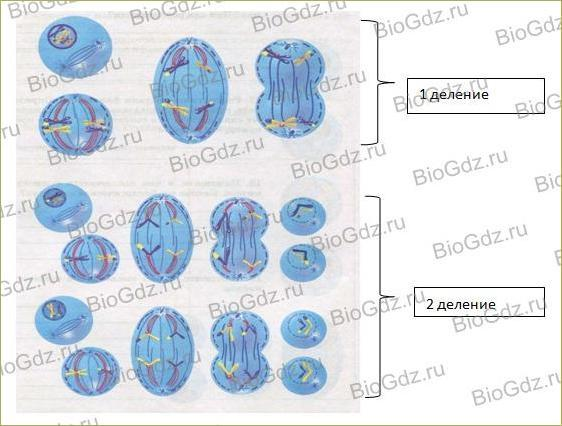 §4. Деление клетки - 1
