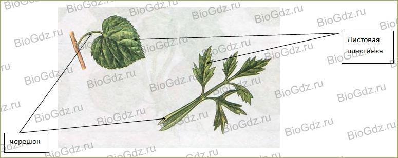§6. Органы цветковых растений - 1