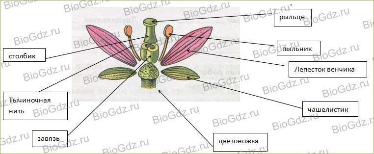 §6. Органы цветковых растений - 2