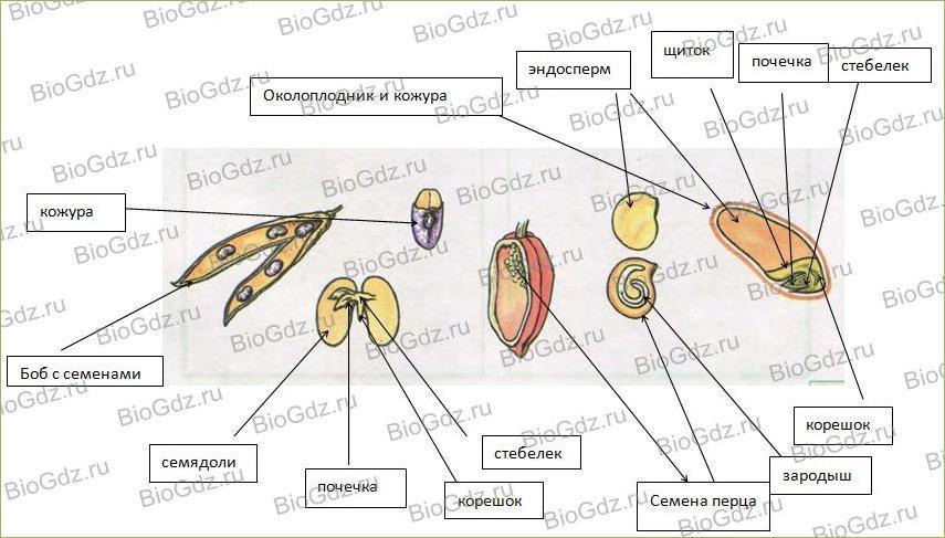 §6. Органы цветковых растений - 3