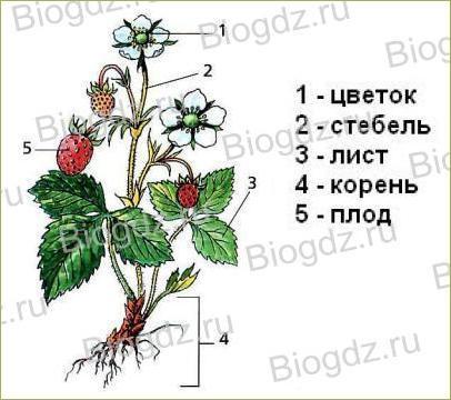 Тема 4. Органы цветковых растений - 1