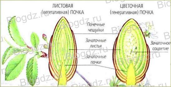 Тема 4. Органы цветковых растений - 11