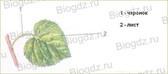 Тема 4. Органы цветковых растений - 12