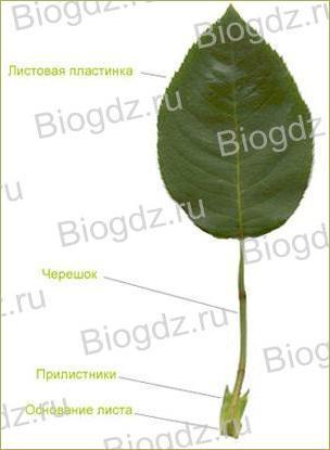 Тема 4. Органы цветковых растений - 13