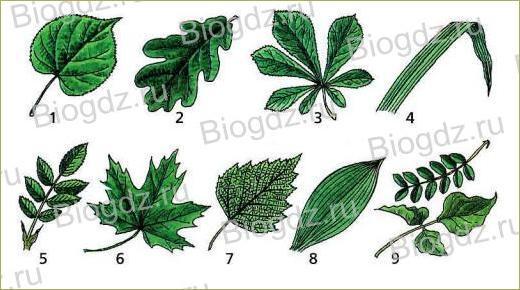 Тема 4. Органы цветковых растений - 14