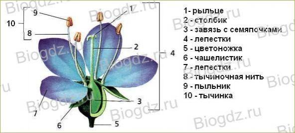 Тема 4. Органы цветковых растений - 15
