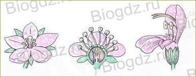 Тема 4. Органы цветковых растений - 16