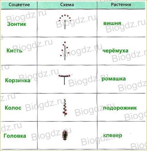 Тема 4. Органы цветковых растений - 18