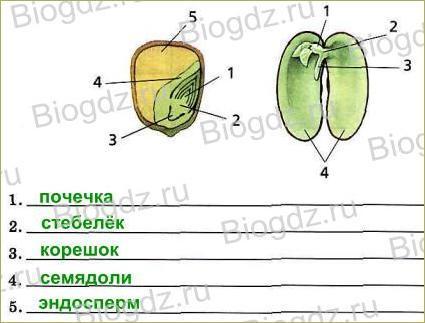 Тема 4. Органы цветковых растений - 20