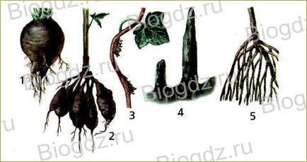 Тема 4. Органы цветковых растений - 6
