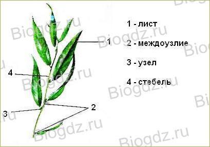 Тема 4. Органы цветковых растений - 8