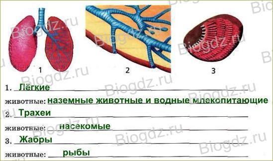 Тема 5. Органы и системы органов животных - 3
