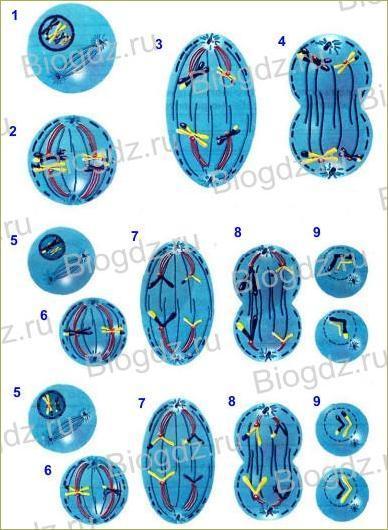 4. Деление клетки - 2