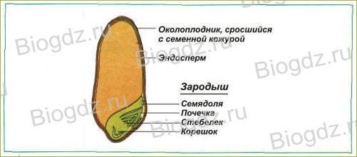 6. Органы цветковых растений - 26