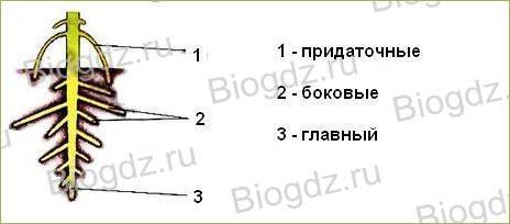 6. Органы цветковых растений - 4