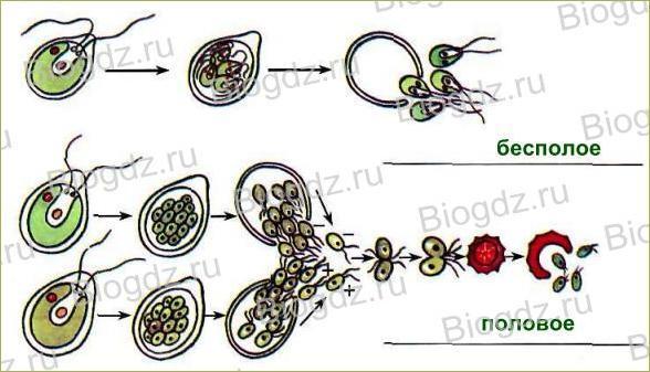 19. Половое размножение растений - 1
