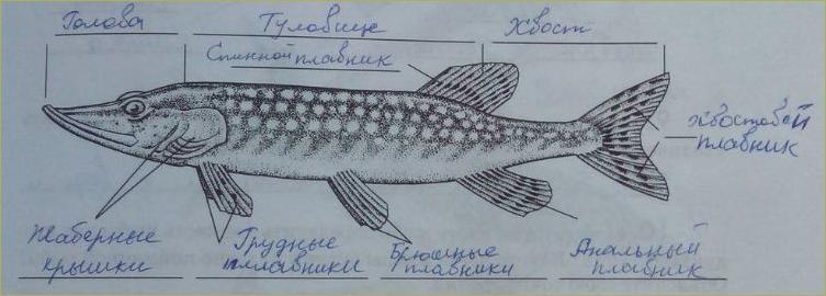 21. Классы Рыб. Хрящевые, Костные - 1