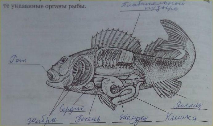 21. Классы Рыб. Хрящевые, Костные - 2