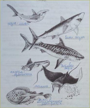 22. Хрящевые рыбы. Отряды: Акулы, Скаты, Химерообразные - 1