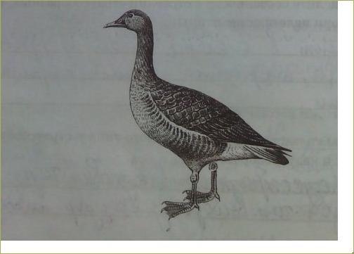 28. Отряды птиц. Страусообразные, Нандуобразные, Казуарообразные, Гусеобразные - 2