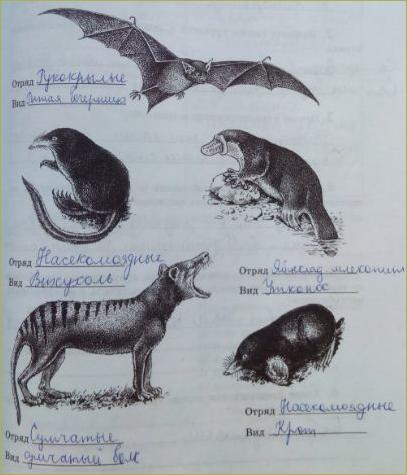 31. Класс Млекопитающие. Отряды: Однопроходные, Сумчатые, Насекомоядные, Рукокрылые - 2