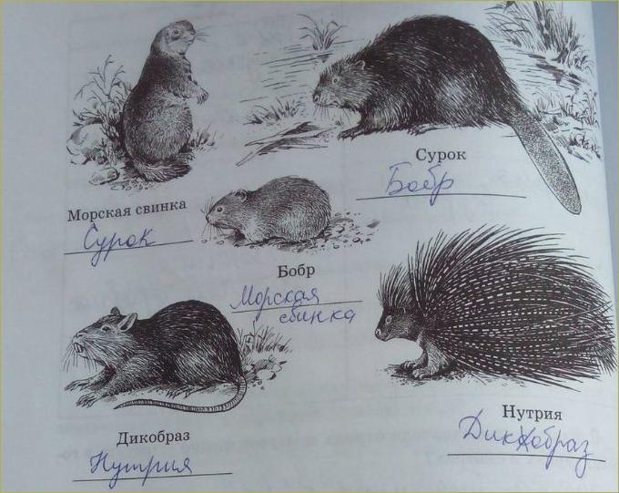 32. Отряды Млекопитающих. Грызуны, Зайцеобразные - 2