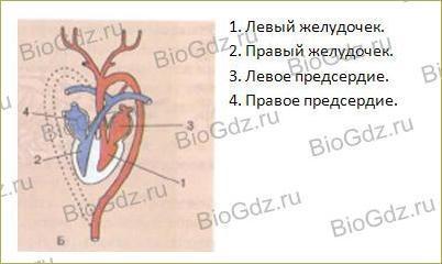 41. Кровеносная система. Кровь - 2