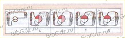41. Кровеносная система. Кровь - 3