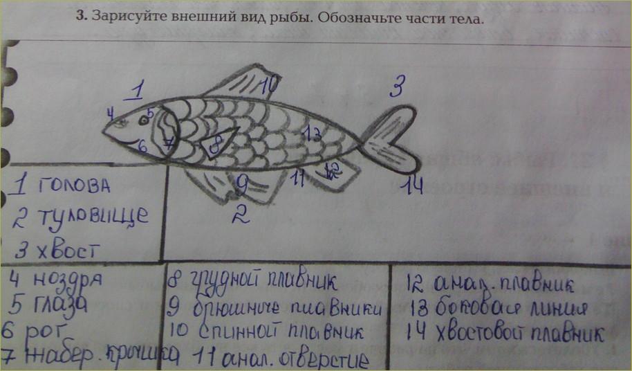 §31. Рыбы: общая характеристика и внешнее строение - 2
