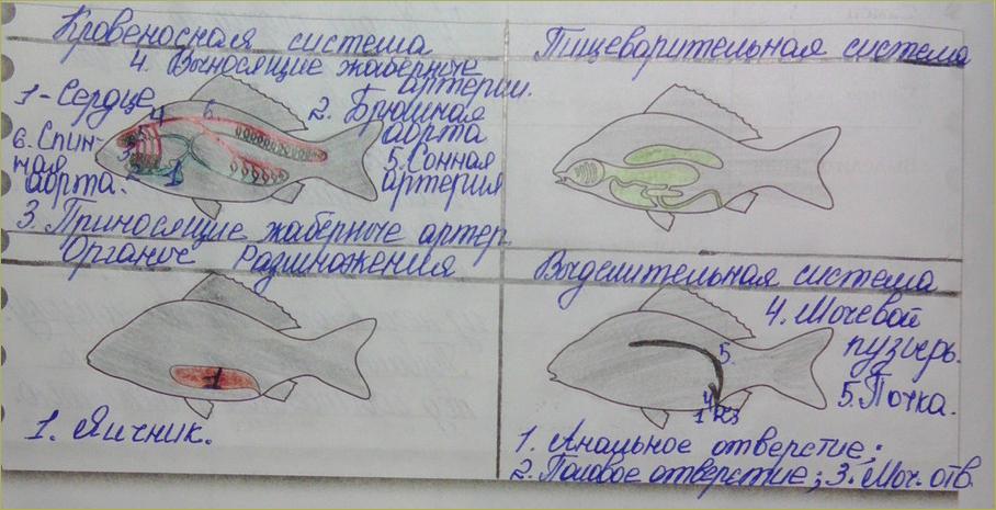§32. Внутреннее строение рыб - 4