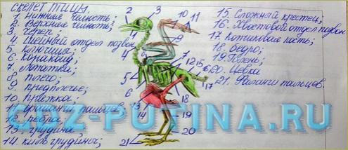 §44-45. Среда обитания и внешнее строение птиц. Опорнодвигательная система птиц - 4