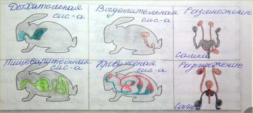 §52. Внутреннее строение млекопитающих2 - 4