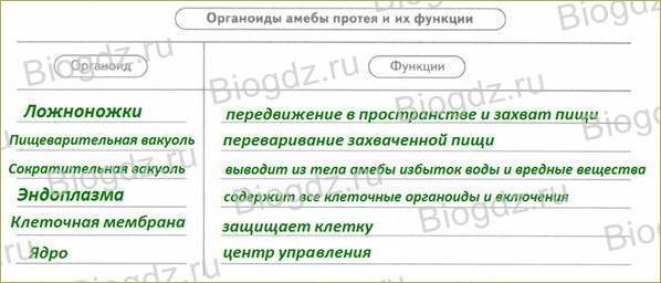 §9. Тип Саркодовые и жгутиконосцы. Класс Саркодовые - 2