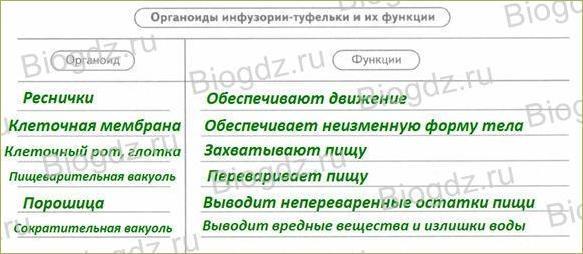 §11. Тип Инфузории - 3