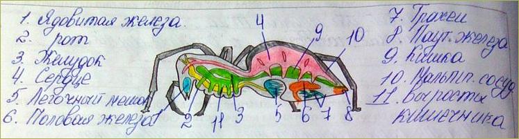 §25. Класс Паукообразные - 1
